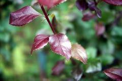 Буш с красными листьями, конец-вверх стоковое фото rf