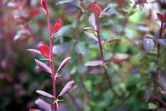 Буш с красными листьями, конец-вверх стоковая фотография rf
