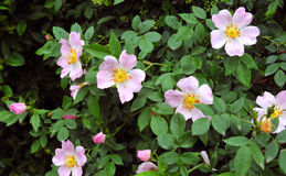 Буш brier с цветами Стоковые Фото