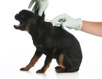 Будучи вакцинированным собака стоковые фотографии rf