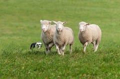 3 будучи табунить овцы Стоковые Фотографии RF