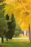 Бульвар gingko парка Пекина ditan Стоковая Фотография RF