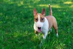 Бультерьер породы собаки Стоковая Фотография RF
