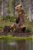 Будьте матерью бурого медведя стоя в финском лесе с отражением от озера Стоковое Фото