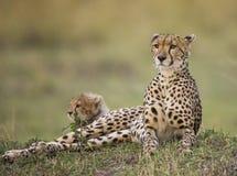 Будьте матерью гепарда и ее новичка в саванне Кения Танзания вышесказанного Национальный парк serengeti Maasai Mara Стоковое Изображение