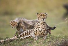 Будьте матерью гепарда и ее новичка в саванне Кения Танзания вышесказанного Национальный парк serengeti Maasai Mara Стоковые Фото