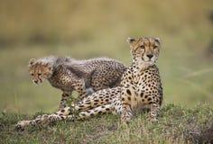 Будьте матерью гепарда и ее новичка в саванне Кения Танзания вышесказанного Национальный парк serengeti Maasai Mara Стоковые Изображения