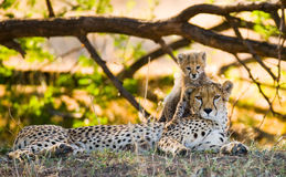 Будьте матерью гепарда и ее новичка в саванне Кения Танзания вышесказанного Национальный парк serengeti Maasai Mara стоковое изображение rf