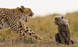 Будьте матерью гепарда и ее новичка в саванне Кения Танзания вышесказанного Национальный парк serengeti Maasai Mara Стоковое фото RF