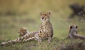 Будьте матерью гепарда и ее новичков в саванне Кения Танзания вышесказанного Национальный парк serengeti Maasai Mara Стоковое фото RF