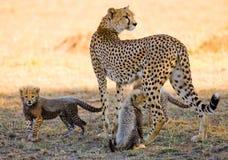Будьте матерью гепарда и ее новичков в саванне Кения Танзания вышесказанного Национальный парк serengeti Maasai Mara Стоковое Фото