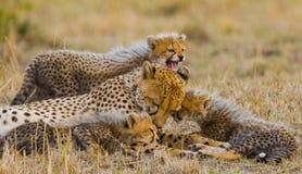 Будьте матерью гепарда и ее новичков в саванне Кения Танзания вышесказанного Национальный парк serengeti Maasai Mara стоковые изображения