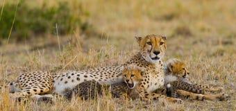Будьте матерью гепарда и ее новичков в саванне Кения Танзания вышесказанного Национальный парк serengeti Maasai Mara Стоковые Фото