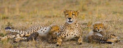Будьте матерью гепарда и ее новичков в саванне Кения Танзания вышесказанного Национальный парк serengeti Maasai Mara Стоковые Изображения RF