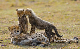 Будьте матерью гепарда и ее новичков в саванне Кения Танзания вышесказанного Национальный парк serengeti Maasai Mara Стоковые Фотографии RF