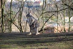 Будьте матерью кенгуру с ее малым младенцем в зоопарке Стоковая Фотография
