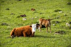 Будьте матерью коровы рядом с ее икрой младенца пася на луге Стоковое Фото