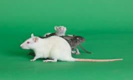 будьте матерью крысы Стоковые Фотографии RF