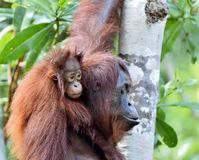 Будьте матерью орангутана и новичка в естественной среде обитания Стоковая Фотография