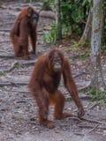 Будьте матерью орангутана при ее младенец стоя, что на журнале и планах взобраться дерево (Индонезия) стоковые фото