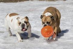 2 бульдога играя в снеге Стоковое фото RF