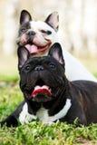 2 бульдога собак французских в лете Стоковое Изображение