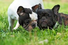 2 бульдога собак французских в лете Стоковые Фото