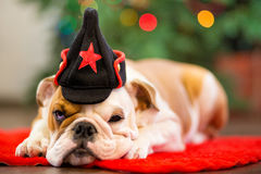 Бульдог милого щенка английский при голова оленей cornuted на красном ковре близко к рождественской елке с xmas забавляется Стоковая Фотография
