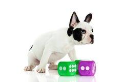 Бульдог собаки французский с dices изолированный на белой предпосылке Стоковые Фото