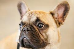 Бульдог собаки французский стоковое фото rf