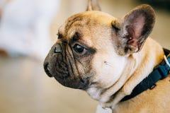 Бульдог собаки французский стоковая фотография rf