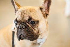 Бульдог собаки французский стоковые фотографии rf