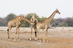 2 быка жирафа обнюхивая на одной женщине Стоковые Изображения