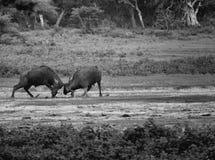 2 быка фиксируя hrons Стоковая Фотография