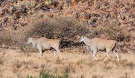 2 быка Eland Стоковое фото RF