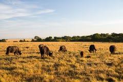 Быки буйвола пася в саванне на Африке Стоковое Изображение