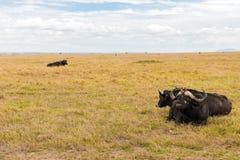 Быки буйвола пася в саванне на Африке Стоковое Фото