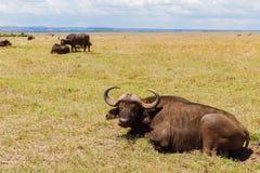 Быки буйвола пася в саванне на Африке Стоковое Изображение RF