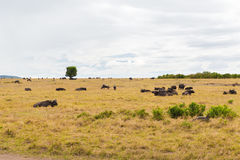 Быки буйвола пася в саванне на Африке Стоковые Фотографии RF