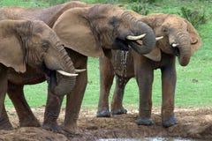 быки выпивая слона Стоковые Фотографии RF
