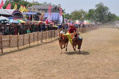 Быки гонок жокея на Madura Bull участвуют в гонке, Индонезия Стоковое Изображение RF