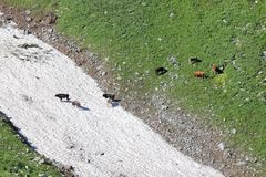 Быки пася на высокогорном луге около лавин снега стоковое фото