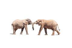 Быки слона в испытании прочности, изолированном на белизне Стоковое Фото