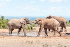 Быки слона в испытании прочности Стоковое Изображение