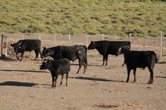 быки Стоковая Фотография