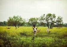 быки Стоковая Фотография RF