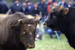 быки Стоковое Фото