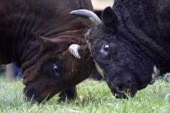 быки Стоковые Изображения