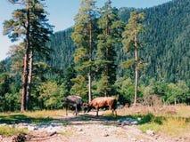 быки Стоковое Изображение RF