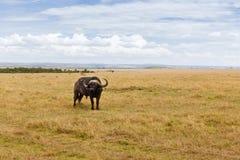 Бык буйвола пася в саванне на Африке Стоковые Изображения